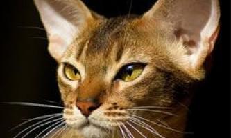 10 Самих популярних порід кішок