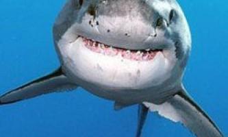 10 Дивних фактів про акул, про які ви не знали