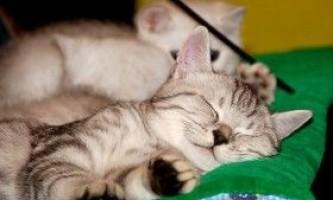 5 Корисних порад про виставку котів: як підготувати тварину