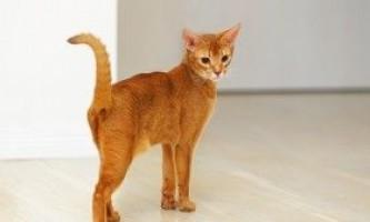Абиссинская кішка: вирощування в домашніх умовах