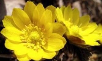 Адоніс весняний (желтотисячнік): властивості і застосування