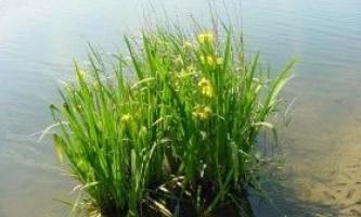 Аїр болотний: властивості, застосування і протипоказання