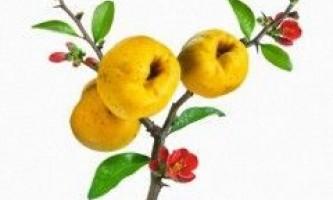 Айва японська: вирощування і догляд