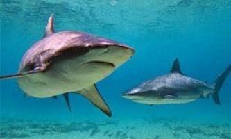 Акули прісних водойм: чи варто їх боятися?