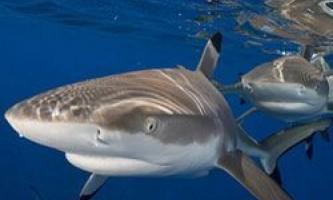 Акули вміють дружити