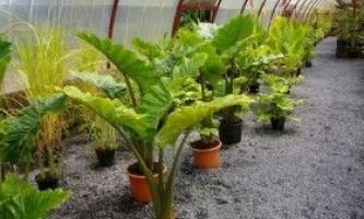 Алоказия: вирощування і догляд