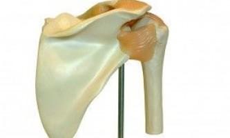 Анатомія плечей