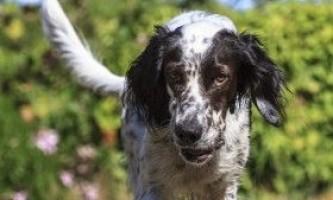 Англійський сетер: особливості утримання собаки