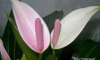 Антуріум в кімнатному квітникарстві