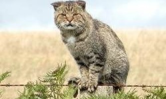 Австралія оголосила війну кішкам: 2 мільйони кішок буде вбито до 2020 року