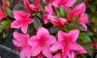Азалія домашня: правила догляду, полив, пересадки та обробка квітки
