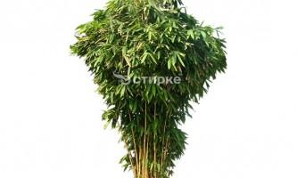 Бамбук: тонкощі догляду і розведення в домашніх умовах