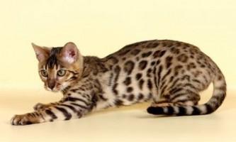 Бенгальська кішка: особливості породи