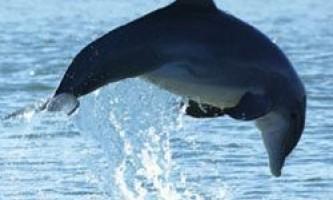 Вагітність для дельфінів - тяжкий тягар, в прямому сенсі