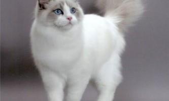 Бірманська кішка: особливості породи