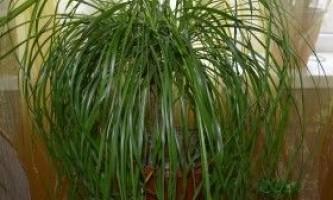 Бокарнея або ноліна: правила вирощування і розмноження