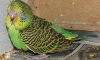 Хвороби папуг