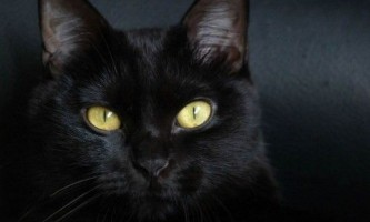 Бомбейська кішка, особливості породи