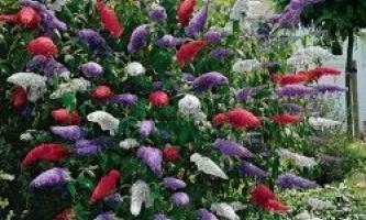 Буддлея давида, вирощування з насіння