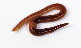 Чим малощетинкові черви відрізняються від многощетинкових?