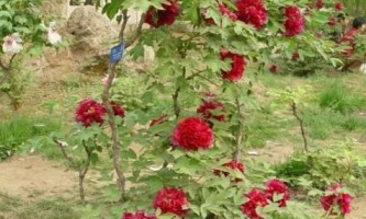 Чим відрізняється деревовидний піон від трав`янистої?