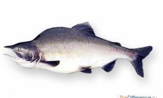 Чим відрізняється горбуша від лосося?