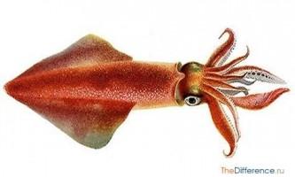 Чим відрізняється кальмар від восьминога?