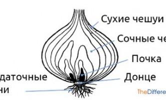 Чим відрізняється бульба від цибулини?