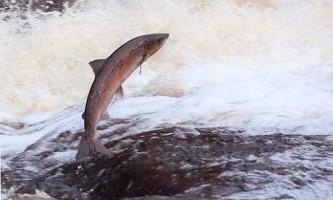 Чим відрізняється лосось від сьомги?