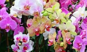 Чим відрізняється орхідея від фаленопсиса?