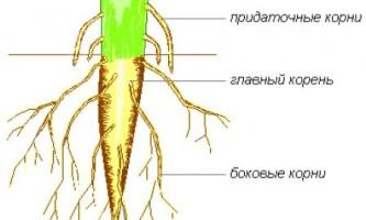 Чим відрізняється втечу від кореня?