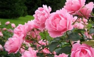 Чим відрізняється троянда від шипшини?