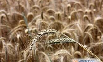 Чим відрізняється жито від пшениці?