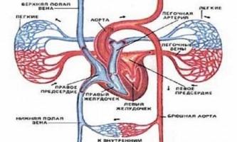 Чим відрізняється венозна кров від артеріальної?