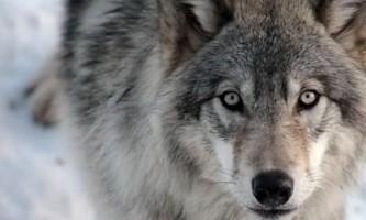 Чим відрізняється заєць від вовка?