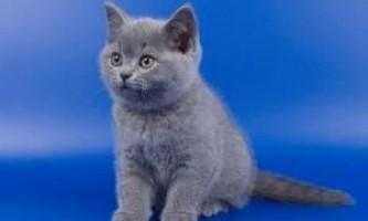Чим відрізняються британські кошенята від шотландських?