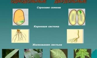 Чим відрізняються однодольні рослини від дводольних рослин?
