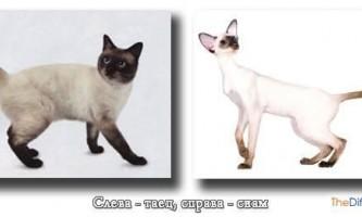 Чим відрізняються тайські кішки від сіамських?