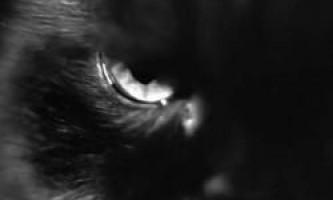 Чорна кішка вважаються затворниками