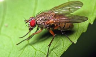 Що робити, якщо на грядці завелася луковая муха?