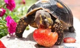 Що їдять черепахи?
