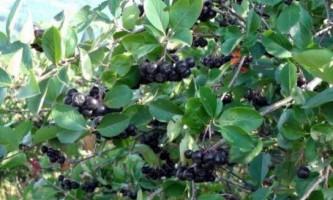 Що можна зробити з черноплодки?