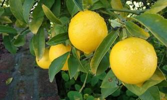 Що потрібно знати про вирощування лимона в домашніх умовах?