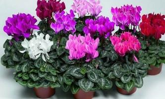 Цикламен: особливості вирощування та підтримки декоративності