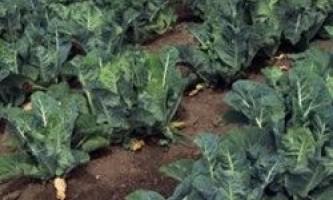 Цвітна капуста, вирощування і догляд