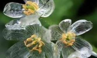 Квітка-скелет - стає прозорим під час дощу