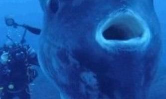 Дайвери відобразили гігантcкую місяць-рибу