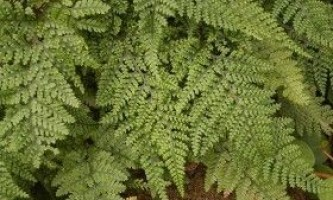 Даваллія: поради по вирощуванню папороті