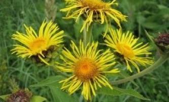 Дивосил або інула: правила вирощування на ділянці