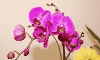 Домашні орхідеї фаленопсис - догляд в домашніх умовах
